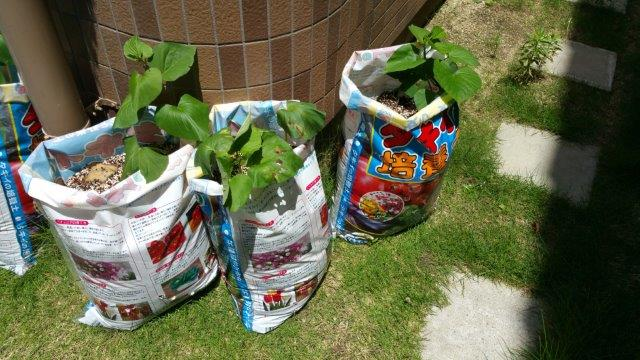 さつま芋の袋栽培